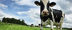 COW MILK FORMULA